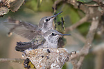La Jolla, California; an Anna's Hummingbird chick testing it's wings in the nest next to its sibling while waiting to be fed by their mother