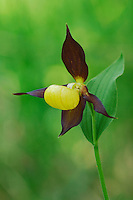 Yellow Lady's Slipper (Cypripedium calceolus), blooming, Switzerland