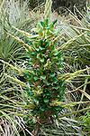 bromeliad, Puya chilensis