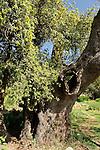 T-026 Kermes Oak on Mount Tzuba