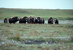Wary muskoxen often detect predators through their strong sense of smell long before they visually confirm their presence.