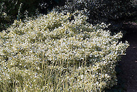 Euonymus fortunei 'Silver Queen' shrub with Cornus alba 'Sibirica'