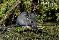 MU29-076z   Deer Mouse - immature young -  Peromyscus maniculatus