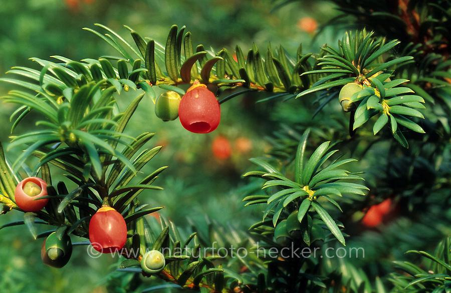 Europäische Eibe, Gewöhnliche Eibe, Beeren-Eibe, Früchte, Taxus baccata, Common Yew, English Yew