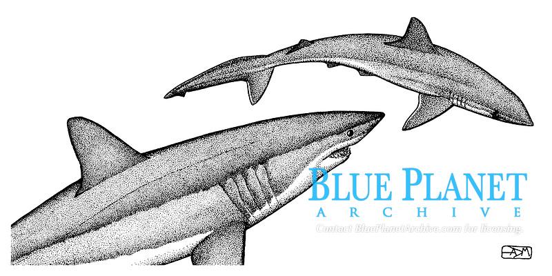 Shortfin mako shark, Isurus oxyrinchus, attacking milk shark, Rhizoprionodon acutus, pen and ink illustration.