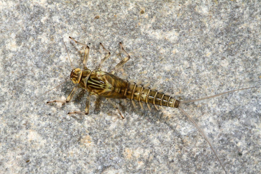 Eintagsfliege, Larve, Nymphe im Wasser, Baetis alpinus, mayfly, larva, larvae