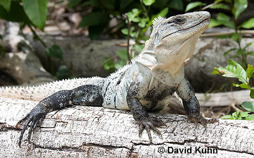 0626-1108  Black Spiny-tailed Iguana (Black Iguana, Black Ctenosaur), On Half-moon Caye in Belize, Ctenosaura similis  © David Kuhn/Dwight Kuhn Photography