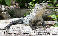 0626-1108  Black Spiny-tailed Iguana (Black Iguana, Black Ctenosaur), On Half-moon Caye in Belize, Ctenosaura similis  © David Kuhn/Dwight Kuhn Photography