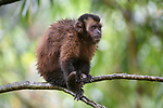 Juvenile tufted or brown capuchin (Cebus apella) (sometimes Sapajus apella) in mid-altitude montane forest, Manu Biosphere Reserve, Peru.