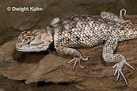 1R19-522z  Desert Spiny Lizard, Sceloporus magister