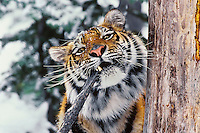 Siberian Tiger (Panthera tigris) biting tree branch.