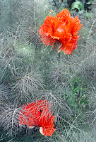 Papaver poppy Curlilocks with orange flower amid purple foliage leaves of fennel Foeniculum vulgare Purpureum, fronds amid flowers combination of planting partners