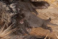 Marderhund, frisch geborene Jungtiere, Junge, Welpen werden von der Mutter, Fähe gesäugt, Tierbabies, Tierbabys, Tierbaby, Marder-Hund, Enok, Seefuchs, Nyctereutes procyonoides, raccoon dog, Chien viverrin
