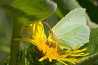 Zitronenfalter, Zitronen-Falter, Blütenbesuch an Lerchensporn, Corydalis, Gonepteryx rhamni, brimstone, brimstone butterfly, Le Citron