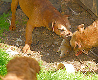 Border terriers attacking a rat.