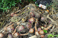 Ruined onions at Xiao Jiao village next to the Dong Qi Emei Polysilicon Project near Leshan, Sichuan, China, that have been damaged by gasses leaking from the plant. The villagers complain of contaminated vegetables and poisoned air and ground water from the plant.<br /> <br /> photo by Richard Jones/Sinopix