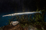Atlantic Needlefish swimming left full body view