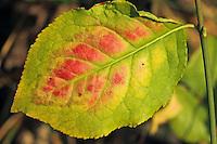 Europäisches Pfaffenhütchen, Blatt im Herbst, Gewöhnlicher Spindelstrauch, Pfaffenkäppchen, Euonymus europaeus, common spindle, European spindle