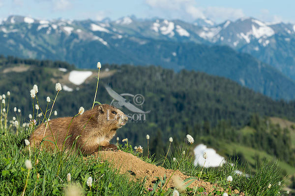 Olympic Marmot (Marmota olympus) sitting on den mound surrounded by bistort wildflowers in alpine meadow , Olympic National Park, WA.  Summer.