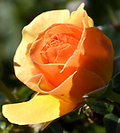Deep Winter Roses