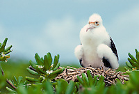 The great frigate bird or iwa, (fregata minor palmerstoni). Nests on the islands of the northwest Hawaiian island chain.