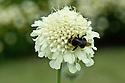 Bee on scabiosa songorica, mid June.
