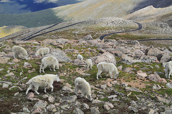 Herd of Mountain Goats (Oreamnos americanus) and road on Mount Evans (14250 feet), Rocky Mountains, west of Denver, Colorado, USA Wildlife  photo tours to Mt Evans. .  John leads private, wildlife photo tours throughout Colorado. Year-round.