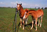 two colts caught at play with a camera tripod