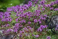 Thymian, Wilder Thymian, Thymus spec., Thyme, Wild Thyme, Österreich, Austria, Kärnten