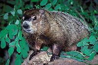 Groundhog, Marota monax, or woodchuck, on log