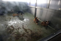 Dogs wait on death row at Chiba Hokenjo, or animals collection center that gasses some 7,0000 pets using carbon dioxide  annually.  Japan kills over 200,000 cats and dogs annually by gassing them with carbon dioxide...photo by  / Sinopix..photo by  / Sinopix............