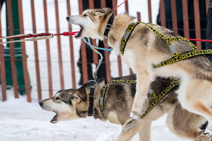 Iditarod 2020 Ceremonial Start in downtown Anchorage, Alaska.