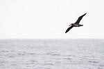 Black-footed Albatross (Phoebastria nigripes) gliding over ocean, Monterey Bay, California