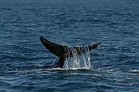 Baird's Beaked whale, Berardius bairdii, fluke with water falling, Monterey Bay National Marine Sanctuary, California, USA, East Pacific Ocean