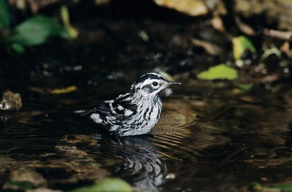 Black-and-White Warbler, Mniotilta varia,adult bathing, High Island, Texas, USA, April 2001
