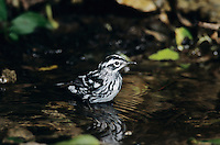 Black-and-White Warbler, Mniotilta varia,adult bathing, High Island, Texas, USA, April 2001