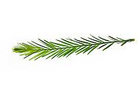 Echte Sumpfzypresse, Sumpfeibe, Taxodium distichum, bald cypress, baldcypress, bald-cypress, cypress, southern-cypress, white-cypress, tidewater red-cypress, Gulf-cypress, red-cypress, swamp cypress, Le Cyprès chauve, Cyprès de Louisiane. Blatt, Blätter, leaf, leaves