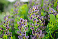 Baptisia 'Twilite Prairie Blues'