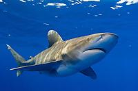 oceanic whitetip shark, Carcharhinus longimanus, pregnant female, Cat Island, Bahamas, Caribbean Sea, Atlantic Ocean