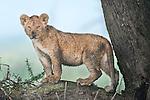 African Lion cub (Panthera leo) - around 4 months old - Big Marsh, near Ndutu, Nogorongoro Conservation Area / Serengeti National Park, Tanzania.