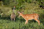 White-tailed fawn and sandhill crane