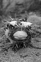 Pufferfish Skeleton on Montague Island at the New South Wales South Coast and Coastal Island bird surveys