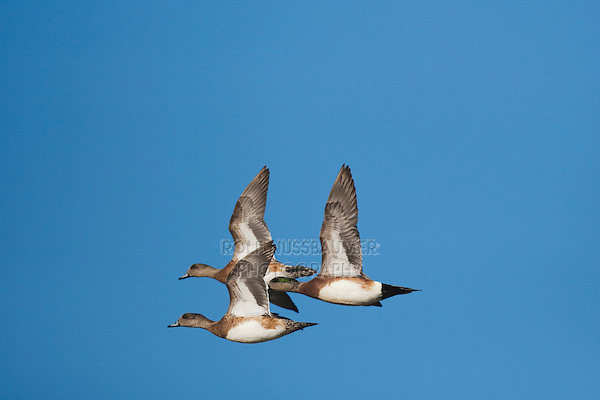 American Wigeon (Anas americana), adult in flight, Sinton, Corpus Christi, Coastal Bend, Texas, USA