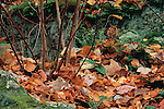 The common and highly adaptable Eastern Chipmunk is camouflaged in autumn leaves fallen to the ground in Minnesota, United States