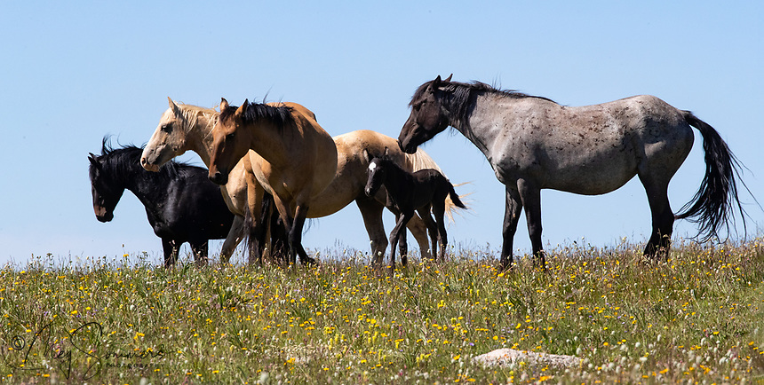 The newest member of Killian's band is Uno Caballo. Killian is the palomino, Hataalii the dun and mom Hailstorm and blue roan.  The black is Orlando a bachelor stallion just tagging along.
