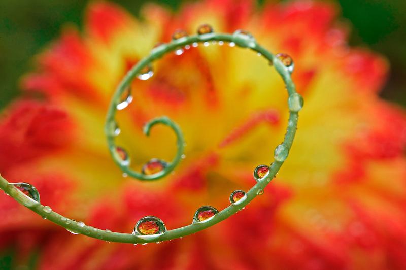 Dahlia reflected in passion tendrill. Near Alpine, Oregon