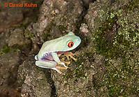 0306-0917  Red-eyed Tree Froglet (Young Frog), Agalychnis callidryas  © David Kuhn/Dwight Kuhn Photography.