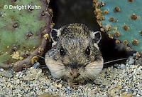 MU31-024z   Silky Pocket Mouse - cheeks full of seeds - Perognathus flavus