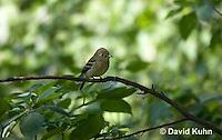 0917-0903  Acadian Flycatcher, Empidonax virescens © David Kuhn/Dwight Kuhn Photography