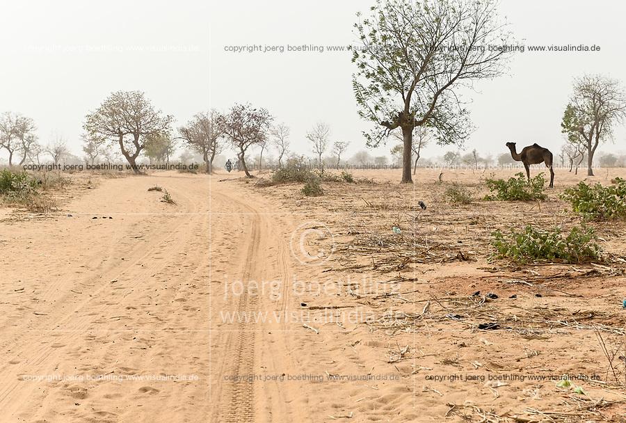 NIGER, Maradi, village Dan Bako, desertification, camel searching for fodder